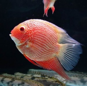 Severum-Red-Spotted