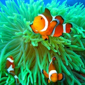 amphiprion-ocellaris