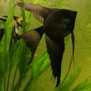 angelfish-black-longfin