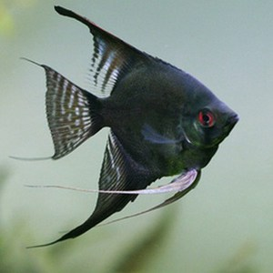 angelfish-black