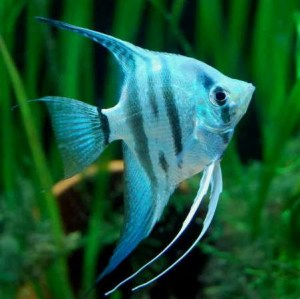 angelfish-pinoy-zebra