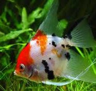 angelfish-tricolor
