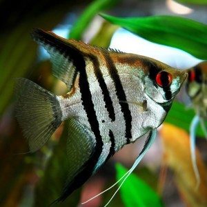 angelfish-zebra-lace