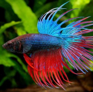 betta-crowntail