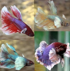 betta-dumbo-male