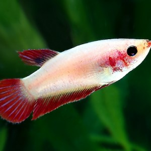 betta-female