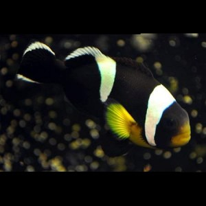 black_saddleback_clown8