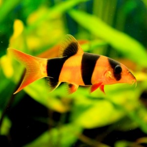 clown-botia-loach