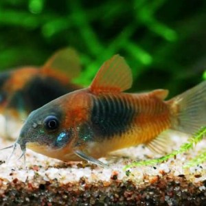corydoras-venezuela-orange