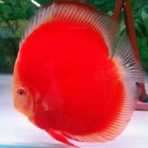 discus-gorgeous-red