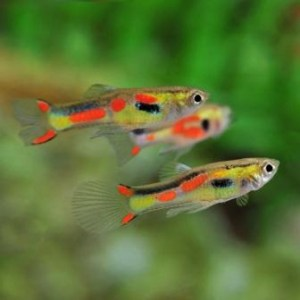 guppy-endler