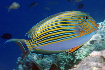 images/stories/virtuemart/product/acanthurus-lineatus