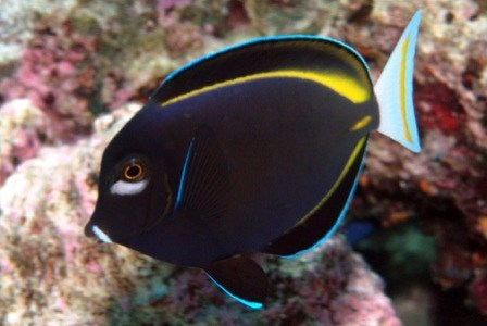 images/stories/virtuemart/product/acanthurus-nigricans