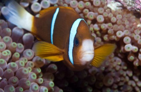 images/stories/virtuemart/product/amphiprion-akindynos