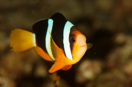 images/stories/virtuemart/product/amphiprion-clarkii