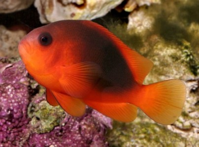 images/stories/virtuemart/product/amphiprion-ephippium