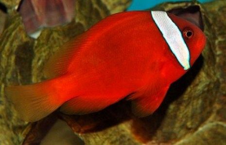 images/stories/virtuemart/product/amphiprion-frenatus-tomato-clown
