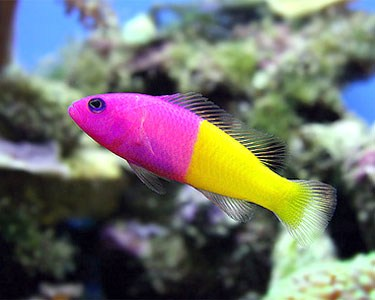 images/stories/virtuemart/product/pictichromis-paccagnellae