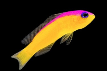 images/stories/virtuemart/product/pseudochromis-diadema