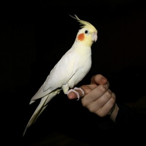 papagaloi-cockatiel-bluefish-petshop-thessaloniki