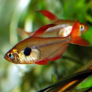 phantom-red-tetra