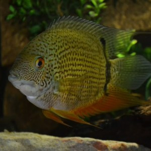 severum-green