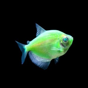 tetra-glofish-electric-green