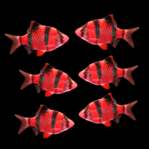 tiger-barb-red-starfire